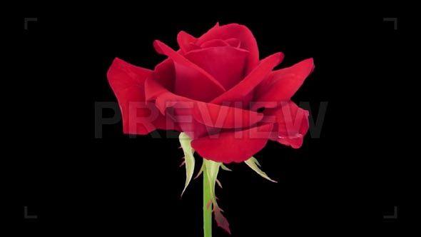 MotionArray - Opening Of Red Kardinal Rose 62892